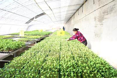 位于马昌营镇东双营村的北京绿丰慷宁集约化育苗场